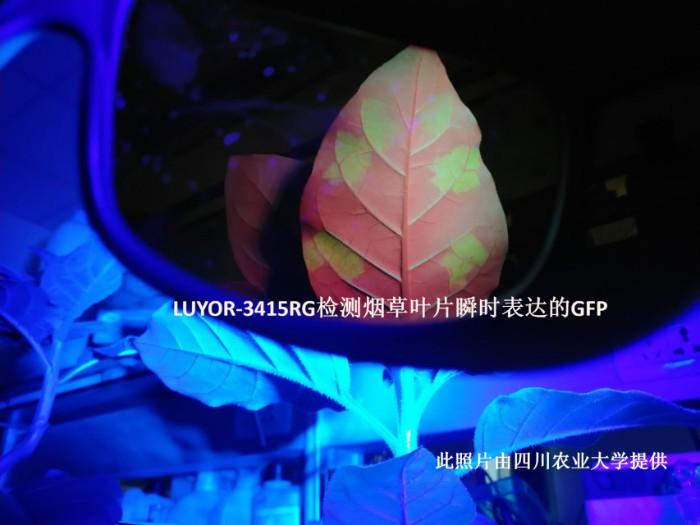LUYOR-3415RG照射烟草叶片中的GFP瞬时表达