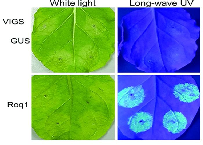 高强度紫外线灯LUYOR-3410观察烟草叶片的GFP