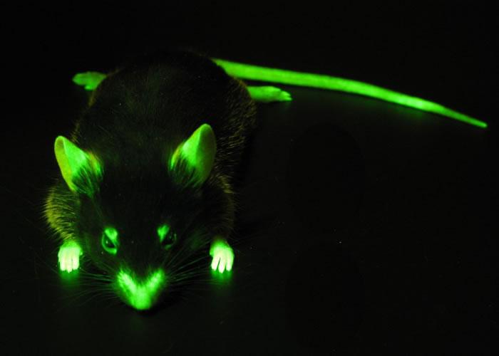 LUYOR-3260荧光蛋白激发光源用于观察老鼠的荧光表达