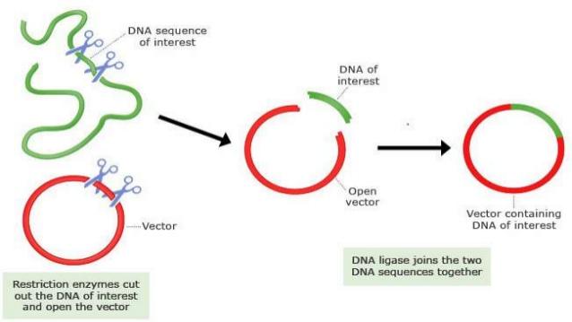 病毒载体的构建实验操作步骤