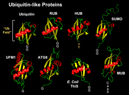 research.sumo.ub-like-proteins.png