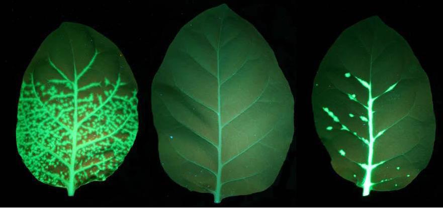 如何观察动植物体内的GFP和RFP?