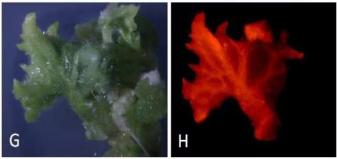 LUYOR-3415观察黄瓜组织RFP的表达