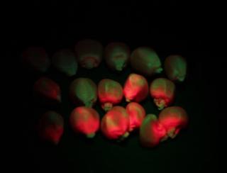 LUYOR-3415观察玉米种子RFP的表达
